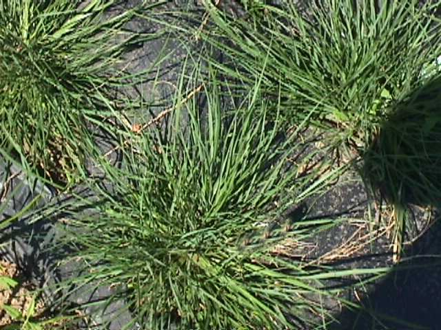 Plant photo of: Pennisetum alopecuroides 'Little Bunny'
