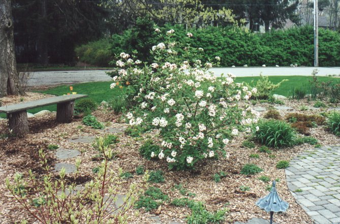 Plant photo of: Viburnum burkwoodii 'Anne Russell'