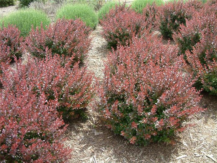 Berberis Thunbergii Atropurpurea Crimson Pygmy Berberis thunbergii 'C...