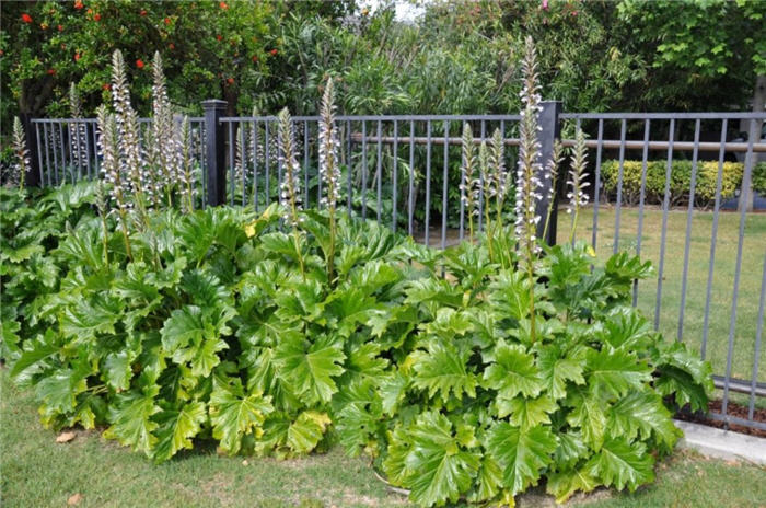 Plant photo of: Acanthus mollis