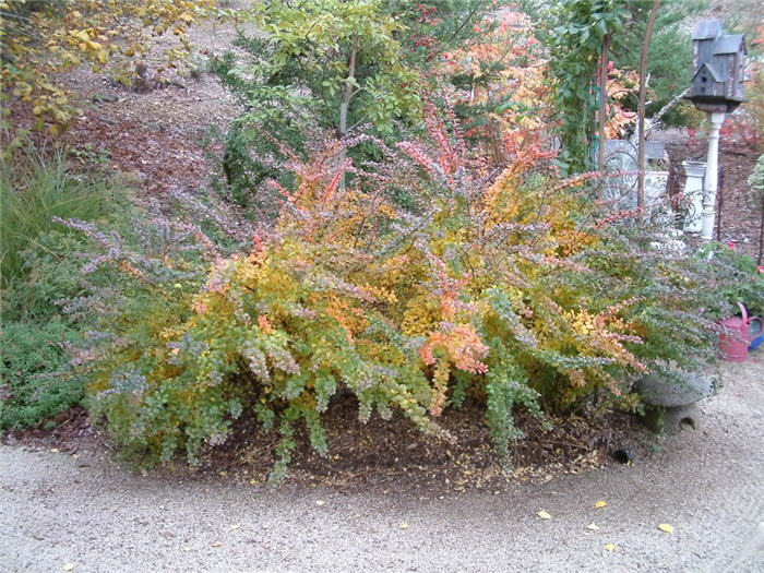 Plant photo of: Berberis thunbergii