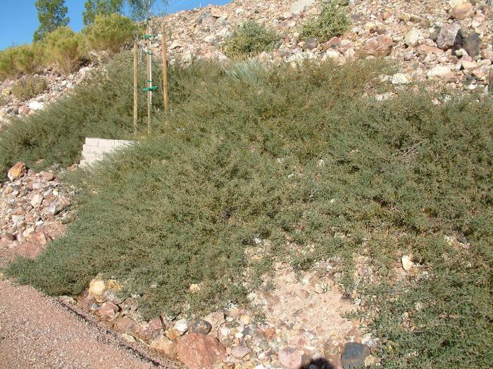 Acacia Redolens Prostrata
