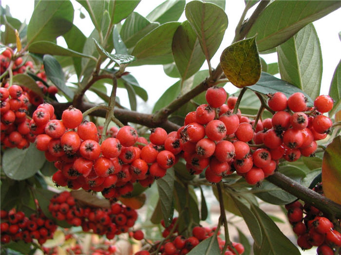 Plant photo of: Cotoneaster lacteus