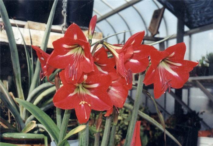 Amaryllis belladonna for Bulbes amaryllis conservation