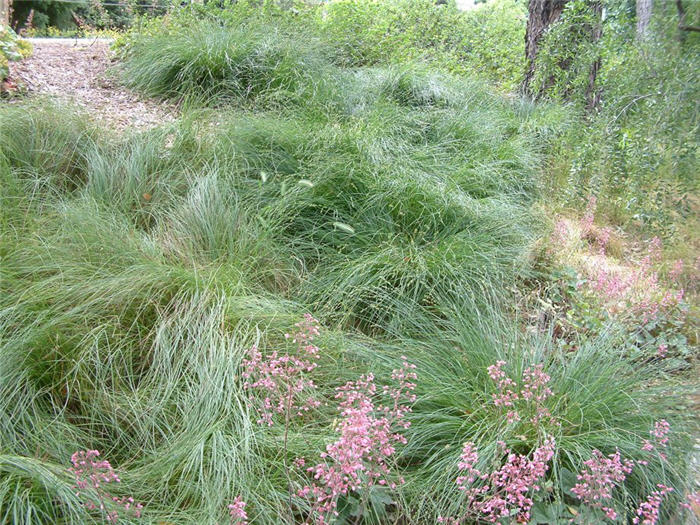 Plant photo of: Carex pansa
