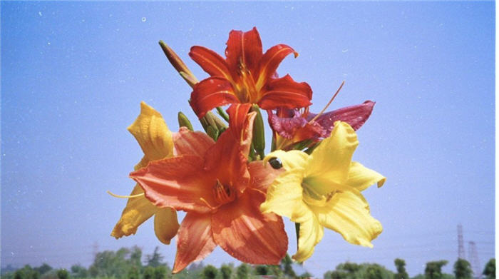 Plant photo of: Hemerocallis hybrids