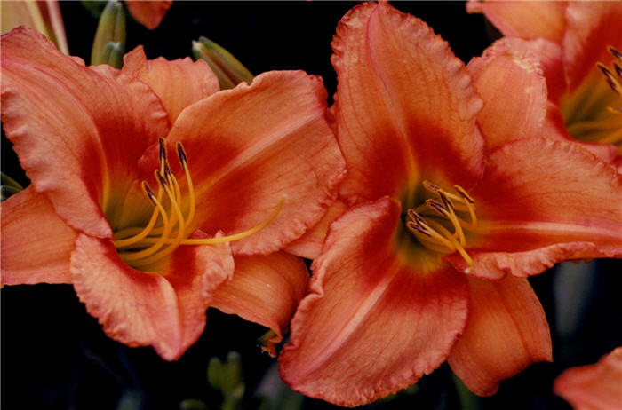 Plant photo of: Hemerocallis 'Lee Bea Orange Crush'