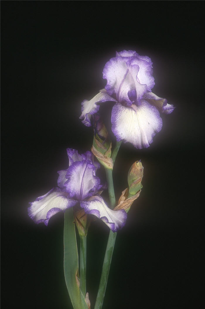 Plant photo of: Iris bearded 'Hemstiched'