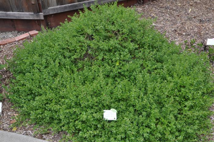 Plant photo of: Baccharis pilularis 'Pigeon Point'