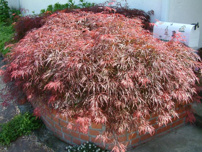 Plant photo of: Acer palmatum 'Atropurpureum'