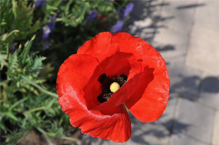 Plant photo of: Papaver rhoeas