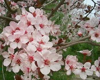 Plant photo of: Prunus cerasifera 'Krauter Vesuvius'