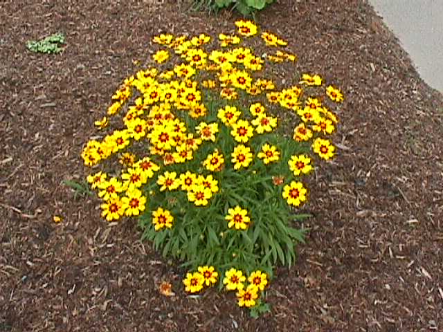 Plant photo of: Coreopsis lanceolata 'Sunray'