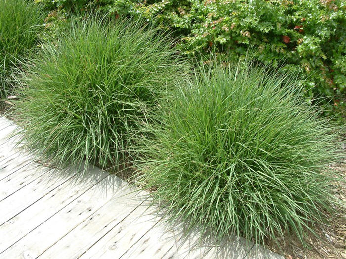 Pennisetum orientale for Oriental grass