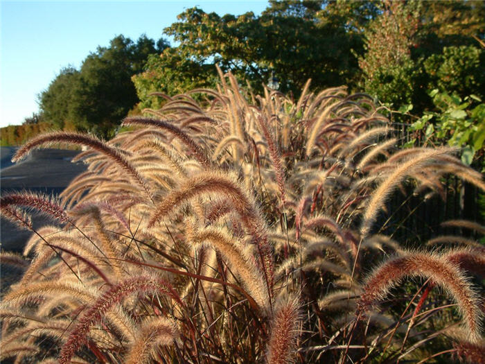Plant photo of: Pennisetum 'Rubrum'