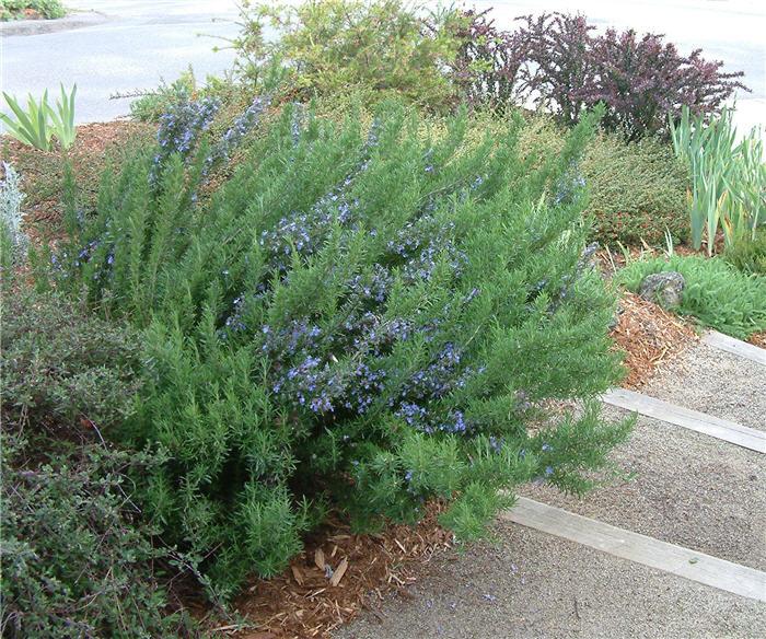 Rosmarinus Officinalis Tuscan Blue