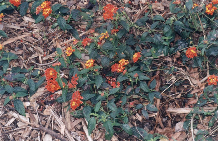 Plant photo of: Lantana 'Confetti'