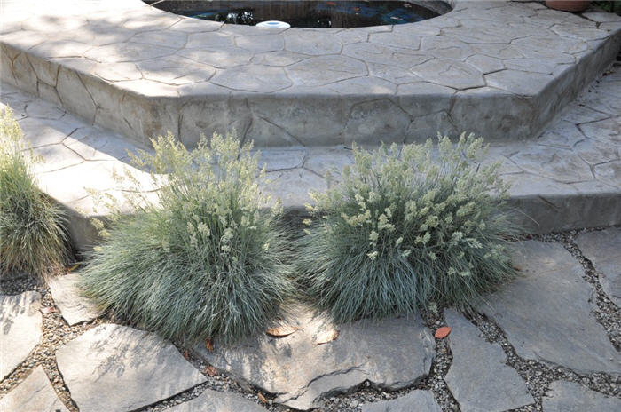 Plant photo of: Festuca glauca 'Elijah Blue'