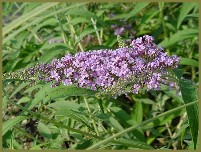 Plant photo of: Buddleja 'Lochinch'