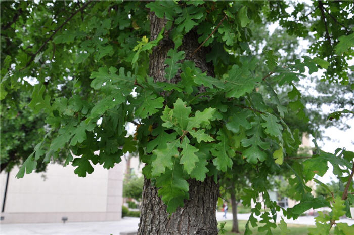 Plant photo of: Quercus douglasii