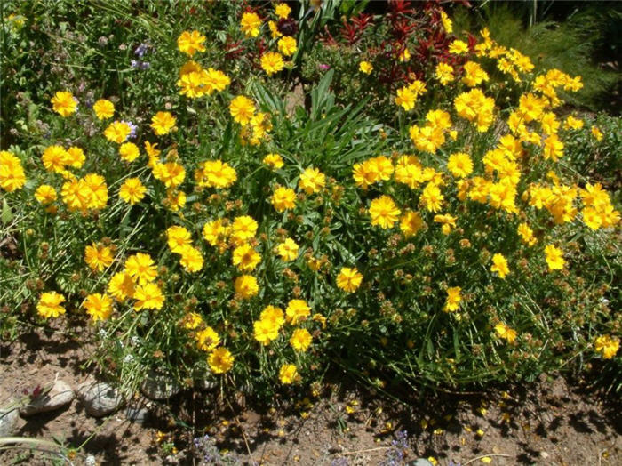 Plant photo of: Coreopsis lanceolata