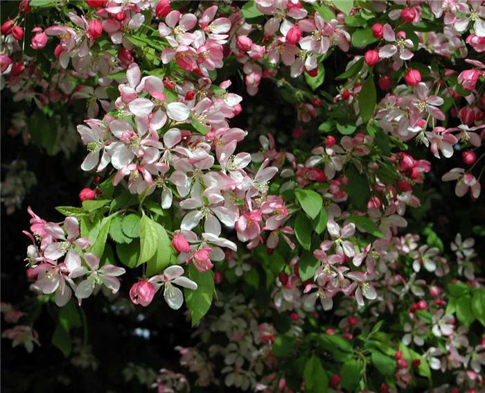floribunda crabapple - photo #43