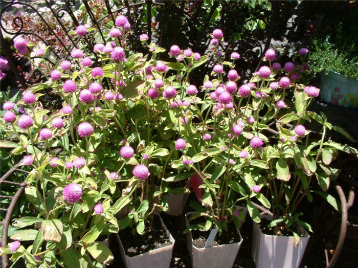 Plant photo of: Gomphrena globosa