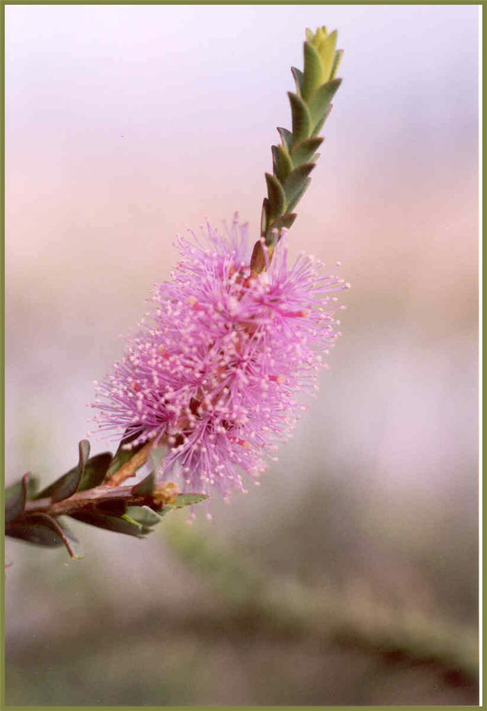 Plant photo of: Melaleuca decussata
