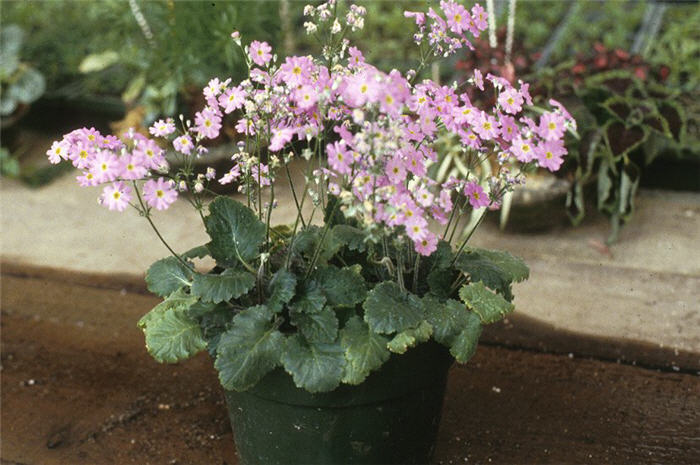 Plant photo of: Primula malacoides