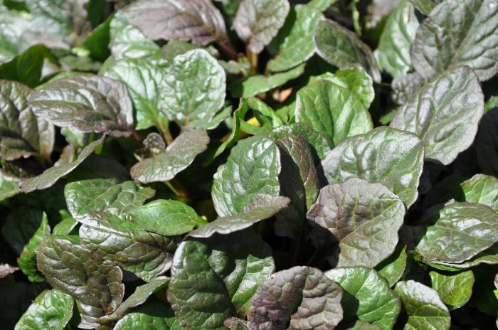 Plant photo of: Ajuga reptans