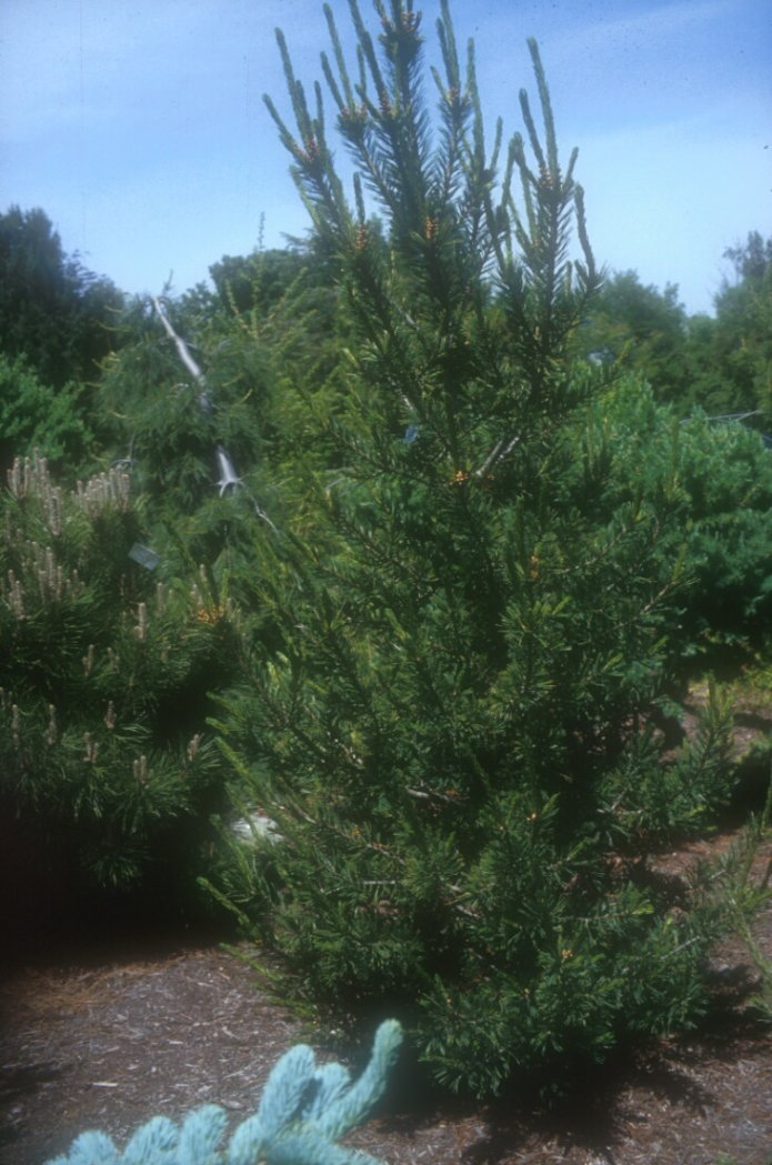 Plant photo of: Pinus flexilis