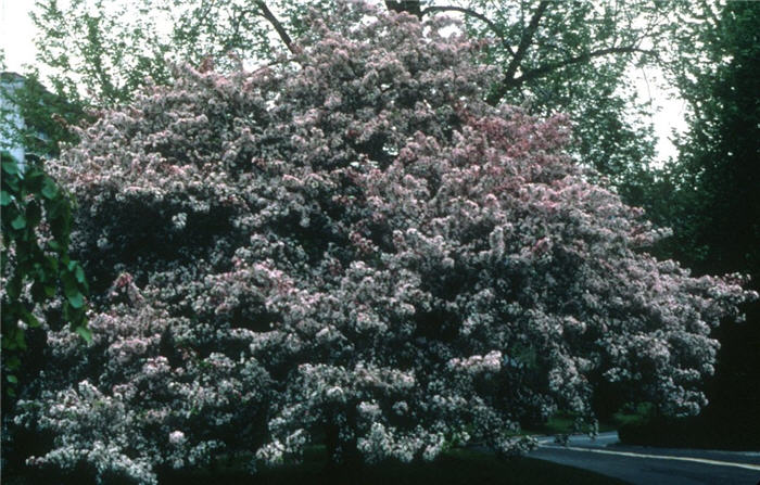 Plant photo of: Malus X  arnoldiana