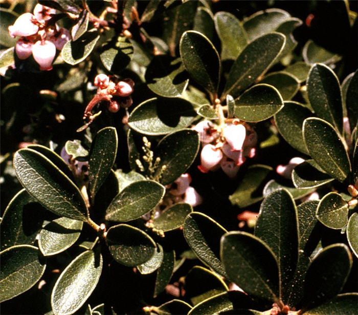 Plant photo of: Arctostaphylos uva-ursi