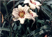 Hemerocallis 'Pandora's Box'