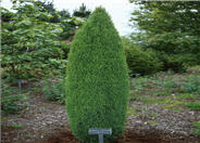 Juniperus c. communis 'Compressa''