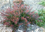 Crimson Pygmy Japanese Barberry