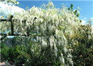 White Chinese Wisteria