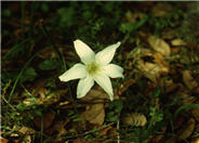 Zephranthes atamasco
