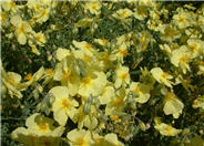 Helianthemum nummularium 'Yellow'
