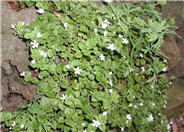 White Bacopa
