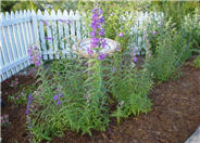 Penstemon hybrids (assorted)