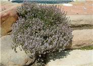 Thymus praecox 'Purple Carpet'