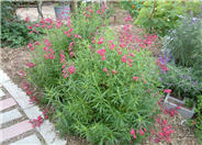 Ruby King Penstemon (deep pink)