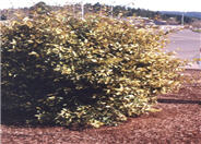 Golden Elaeagnus