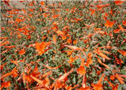 Mexicana California Fuchsia