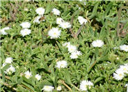 White Trailing Ice Plant