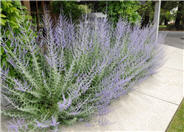 Azure or Russian Sage