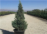 Juniperus chinensis 'Blue Point'