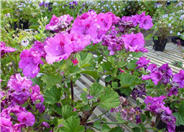 Garden or Common Geranium