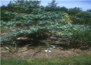 Picea pungens 'Koster'